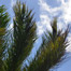 coconut_palm