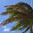 wind_blown_palm
