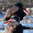 black_oystercatchers