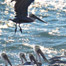 pelicans_taking_flight